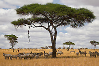 Zebras under an umbrella acacia in Tarangire National Park in northern Tanzania