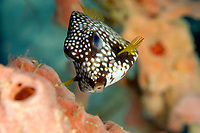 Smooth Trunkfish,  Lactophrys triqueter, Curacao, ABC islands, Netherlands Antilles, Caribbean Sea, Atlantic Ocean