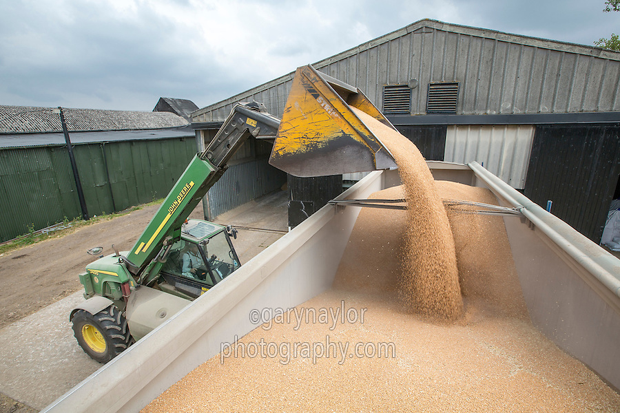 Loading wheat into a tipping trailer with a John Deere John Deere 3400 telehandler - Cambridgeshire, September