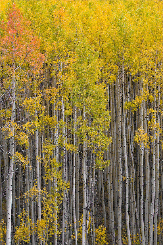 I love capturing Colorado aspen images in autumn. In the fall, aspen leaves turn orange and gold. This Aspen grove was found in the Maroon Bells Wilderness area, near Aspen Colorado. I love the Colorado Rocky Mountains in fall.