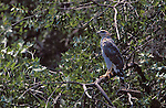 Gray Hawk (Buteo nitidus) juvenile, Patagonia, Arizona, USA