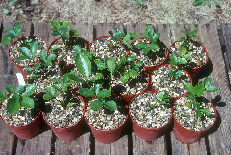 Hellebore seedlings young plantlets in individual pots, grown from seed, Helleborus
