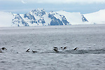Chinstrap penguins porpoising off the coast of Deception Island, Antarctic Peninsula.
