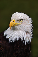 Adult Bald Eagle Portrait, Haliaeetus leucocephalus