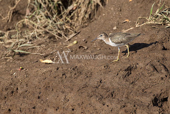 The spotted sandpiper, another wader found along the Rio Tarcoles.