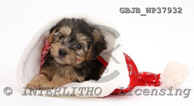 Kim, CHRISTMAS ANIMALS, photos, GBJBWP37932,#XA# stickers