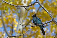 Steller's jay (Cyanocitta stelleri) perched in aspen tree.  Western U.S., Fall.
