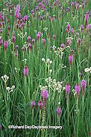 63863-018.11 Prairie Blazing Stars (Liatris sp.) & Rattlesnake Master (Eryngium yuccifolium) Lee Co.   IL