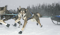 Saturday February 25, 2006 Willow, Alaska.   One of Dustin Regar's wheel dogs runs down the trail at the start day of the Junior Iditarod sled dog race.  Willow Lake.