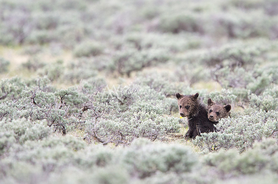 A pair of grizzly bear cubs huddles together in the sage.