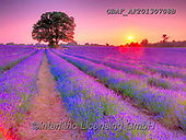 Assaf, LANDSCAPES, LANDSCHAFTEN, PAISAJES, photos,+Color, Colour Image, Dusk, Field, Floral, Flower, Flowers, Lavender, Lavender Field, Nature, Outdoors, Photography, Rows, Spr+ing, Sun, Sun Beam, Sun Beams, Sun Rays, Sunset, Tree, Trees, Twilight,Color, Colour Image, Dusk, Field, Floral, Flower, Flow+ers, Lavender, Lavender Field, Nature, Outdoors, Photography, Rows, Spring, Sun, Sun Beam, Sun Beams, Sun Rays, Sunset, Tree,+Trees, Twilight+,GBAFAF20130708B,#l#, EVERYDAY