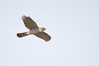 Cooper's Hawk (Accipiter cooperii), juvenile in flight over the Henderson Bird Viewing Preserve in Henderson, Nevada.
