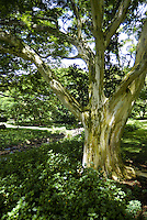 A striking eucalyptus tree takes center stage at McBryde gardens, near Poipu, Kauai, which are part of the 5 National Tropical Botanical gardens in the US.