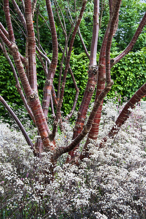 Multi-stemmed Tibetan cherry (Prunus serrula) underplanted with whiteflowered, purple-leaved cow parsley (Anthriscus 'Ravenswing'). RBC Blue Water Garden, designed by Nigel Dunnett, RHS Chelsea Flower Show 2012.