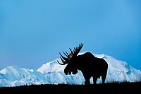 Bull moose in front of Mt. Denali, Denali National Park, Alaska.