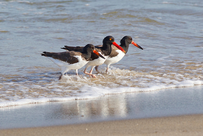 Adult and Two Juvenile American Oystercatchers on Chappaquiddick Island off Martha's Vineyard