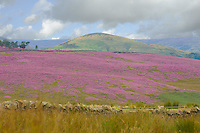 Heather on fells near Cow Ark, Lancashire.