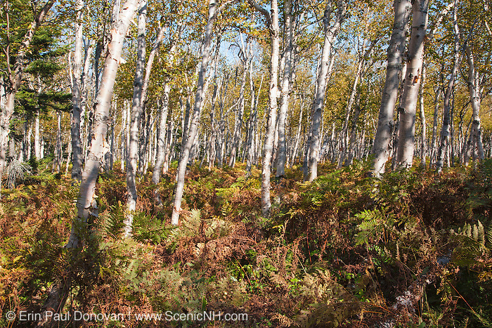 Birch forest near the summit of Whitewall Mountain during the autumn months in the White Mountains, New Hampshire USA.