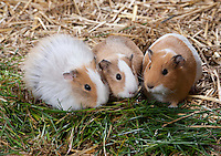 Guinea pigs,Cavia porcellus), also called the cavy, Whitewell, Lancashire.