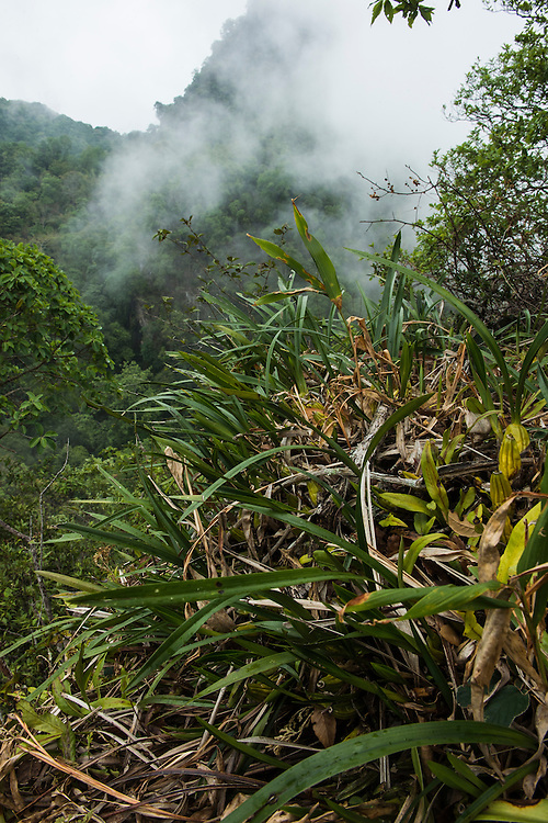 Yin Chang, one of the hugely biodiverse limestone karst rainforest remanants in Xishuangbanna China, is surveryed by team members of XTBG. In just one day in this newly explored site 23 orchid species were recorded. This included many flowering examples of Flickingeria calocephala, a species that flowers only one day per year. Group leader, Liu QIANG, had never before seen this species flower in his 10 years study of this regions orchids.