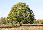 Single oak tree, quercus robur, standing in Suffolk Sandlings heathland, Sutton, Suffolk, England, UK