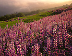 Redwood National Park, CA <br /> Late evening sun breaks through a layer of coastal fog to illuminate Riverbank lupine and Oregon White Oak on a hillside meadow in the Bald Hills