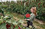 Foto: VidiPhoto<br /> <br /> LIENDEN – Code rood bij fruitteler Verwoert in Lienden. De grote rode trossen aan de bessenstruiken zijn rijp en moeten geplukt worden. Daarom heeft de Betuwse fruitteler vanaf maandag dertig vakantiewerkers aan het werk. De jongelui zitten op, of gaan allemaal naar dezelfde school in Kesteren, het Van Lodenstein College (VLC) en zijn gewend de handen uit de mouwen te steken. De 2,5 ha. rode bessen bij Verwoert moeten in twee weken geplukt worden en zijn vrijwel helemaal bestemd voor de export. De kwalitatief hoogwaardige Hollandse rode bessen zijn met name gewild in Zuid-Europa, waar de consumptie van het zachtfruit fors hoger ligt dan in eigen land. Rode bessen worden met name gebruikt als versiering bij maaltijden, bij ijs en als gezondheidscomponent bij het ontbijt. Omdat de consumptie van rode bessen in Europa toeneemt en de productie dit jaar water lager ligt, wordt er volgens Verwoert nu een goede prijs betaald voor de bessen.