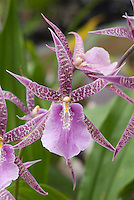 36975 Taxonomists have changed the genus name of Miltassia to Bratonia.