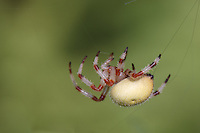 Shamrock Spider (Araneus trifolium) spinning its web