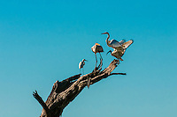 Birds standing on branch, Kwando Concession, Linyanti Marshes, Botswana. Kwando Concession, Linyanti Marshes, Botswana.