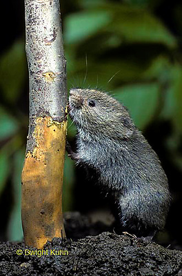 MU30-106z  Meadow Vole girdling [eating the bark] of a apple tree trunk - Microtus pennylvanicus