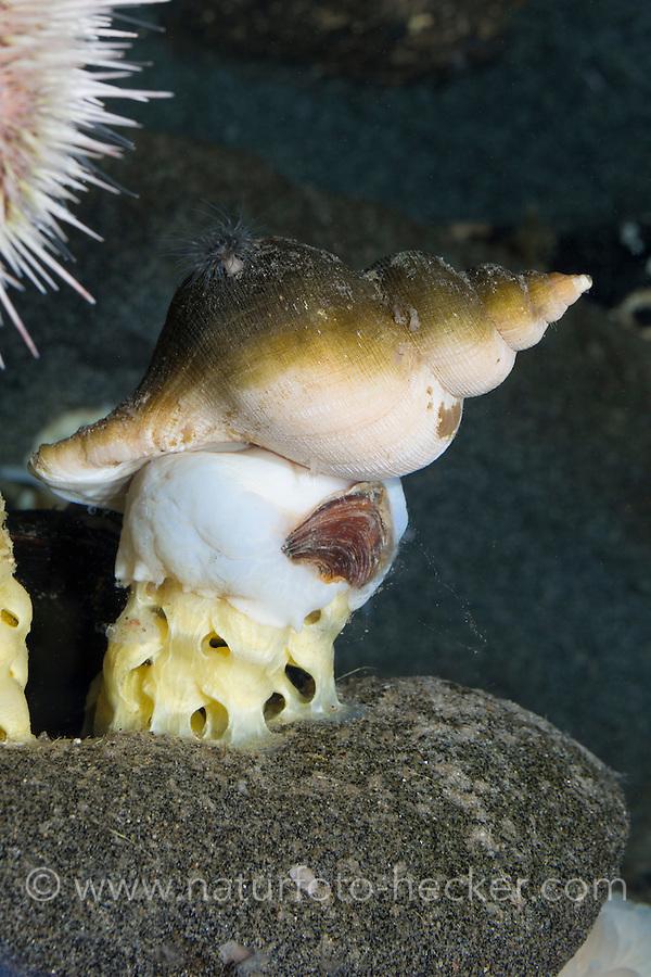 Neptunshorn, bei der Eiablage, Laich, Laichballen, Gemeine Spindelschnecke, Neptunea antiqua, red whelk, Common Spindle