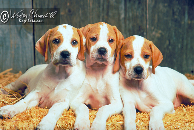 3 pointer pups in a barn scene<br /> <br /> Shopping cart has 3 Tabs:<br /> <br /> 1) Rights-Managed downloads for Commercial Use<br /> <br /> 2) Print sizes from wallet to 20x30<br /> <br /> 3) Merchandise items like T-shirts and refrigerator magnets