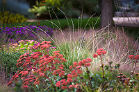 Festuca mairei, Atlas Fescue grass in Colorado prairie garden with Sedum 'Matrona'; Scripter garden, design Lauren Springer Ogden