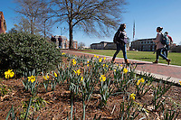 Students walking past Drill Field daffodils.<br />