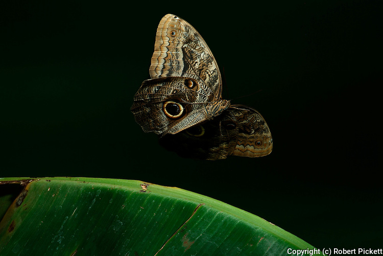 Owl Butterfly, in flight, Caligo memnon, male, high speed photographic technique, majestic, magnificent, showing eye spots, flying .Central America....