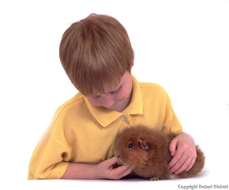 Young Boy feeding Pet Guinea Pig, aged 7 years old, domestic, white background, cut out, studio, tan or ginger colour