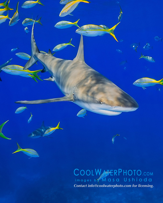 Caribbean reef shark, Carcharhinus perezi, and yellowtail snappers, Ocyurus chrysurus, West End, Grand Bahama, Bahamas, Caribbean Sea, Atlantic Ocean
