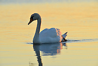Mute Swan Cygnus olor. L 150-160cm. Large, distinctive water bird and a familiar sight. Swimming birds hold long neck in an elegant curve. Family groups are a feature of lowland lakes in spring. Typically tolerant of people. In flight, shallow, powerful wingbeats produce and characteristic, throbbing whine. Sexes are similar but bill's basal knob is largest in males. Adult has white plumage although crown may have orange-buff suffusion. Bill is orange-red with black base. Juvenile has grubby grey-brown plumage and dull pinkish grey bill. Voice Mostly silent. Status Our commonest swan; the only resident species. Found on freshwater habitats besides which it nests; in winter, also on sheltered coasts