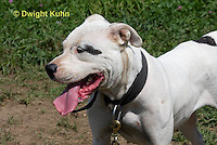 SH40-615z  American Bulldog, Close-up of face,  Canis lupus familiaris