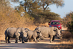 White rhinos (Ceratotherium simum) with tourists, Kruger national park, South Africa, June 2012