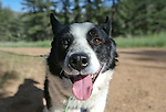 "Rooster, a Karelian bear dog, waits for the release a bear west of Carson City, Nev., on Sunday, May 25, 2014. The 8-year-old female bear was ""intercepted early in the cycle of conflict behavior"" and subjected to aversion training. <br /> Photo by Cathleen Allison"
