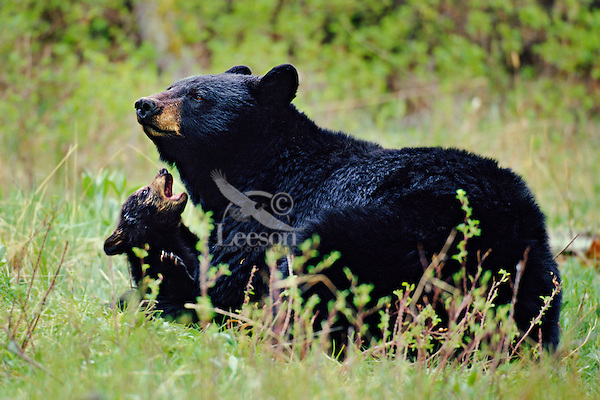 Black Bear ((Ursus americanus) mother with young cub.  Spring.  Northern Rockies.