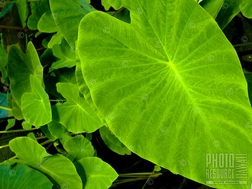 group of taro leaves. Taro is a Hawaiian staple food. Its root is cooked and mashed to make poi (always served at local luau), and it has a spiritual - religious importance in Hawaiian culture, where taro is the original brother of all Hawaiians.