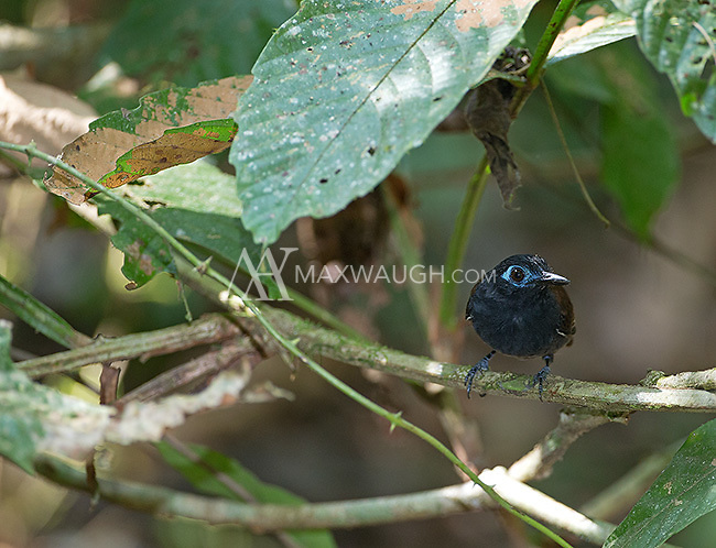 Antbirds often perch low to the ground in search of insects.