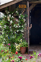 Charming rustic garden shed with old license plate, heirloom flowers, container plants, ornaments, climbing white rose Rosa, flowers, antique farm tools ornaments hanging on wall, lush garden with Cirsium rivulare 'Atropurpureum' , Linum, wonderful combination of old and growing . Board and batten door