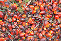 A close up of loose, ripe oil palm fruits. The Sindora Palm Oil Plantation, owned by Kulim, is green certified by the Roundtable on Sustainable Palm Oil (RSPO) for its environmental, economic, and socially sustainable practices. Johor Bahru, Malaysia