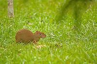 Central American Agouti (Bush Rabbit), Belize