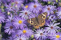 03411-01213 Common Buckeye (Junonia coenia) on Frikart's Aster (Aster frikartii) Marion Co. IL