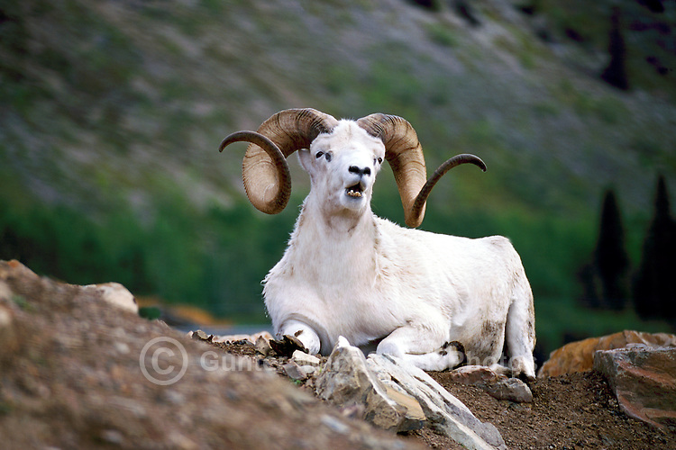 Dall Sheep Ram (Ovis montana dalli), Northern BC, British Columbia, Canada